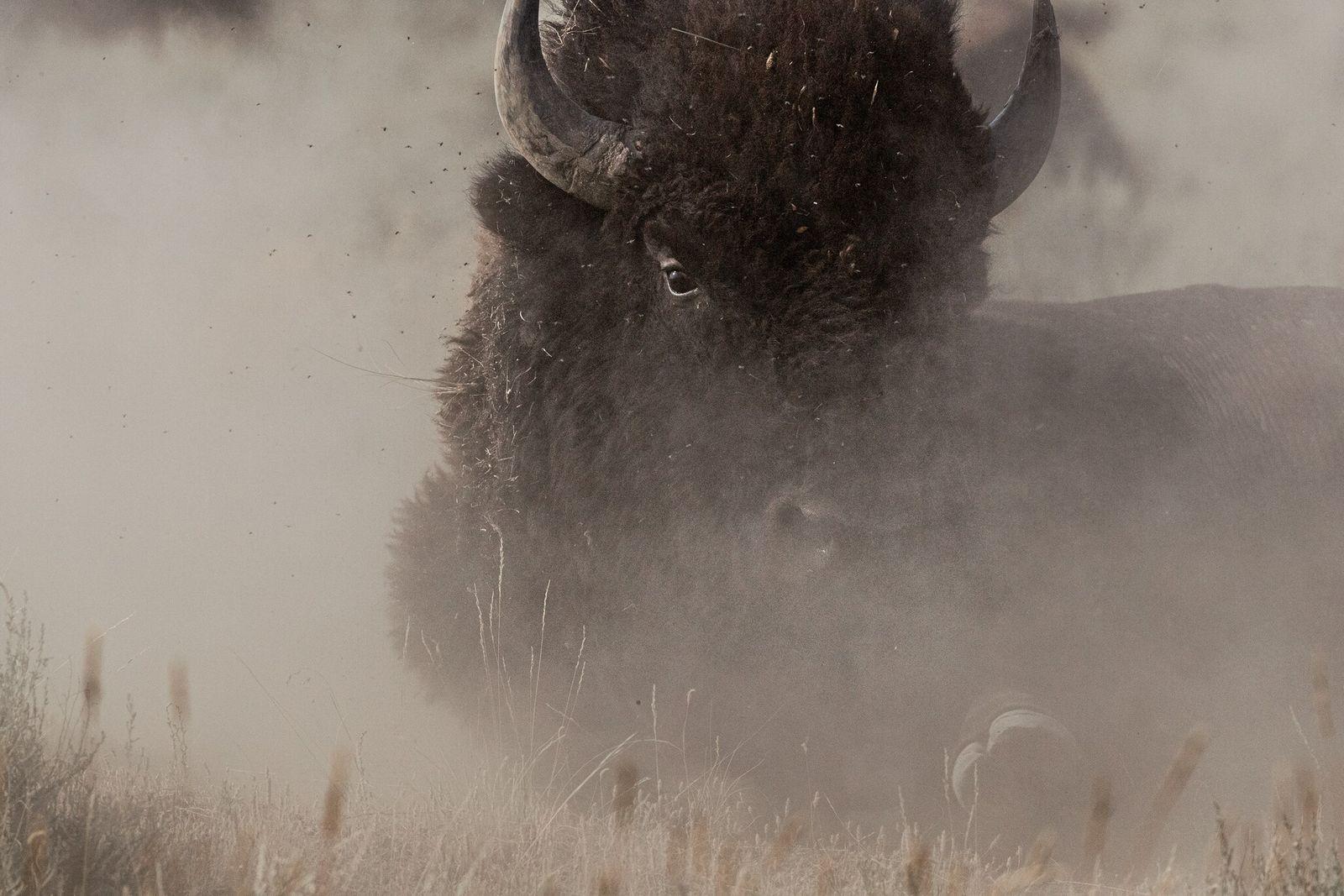 Fotografía de un bisonte revolcándose en el polvo