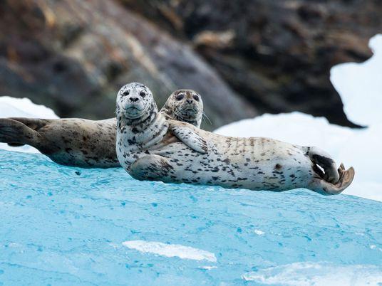 De focas a escarabajos peloteros: estos animales se orientan por las estrellas