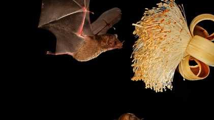 Los murciélagos regurgitan el néctar para alimentar a sus crías