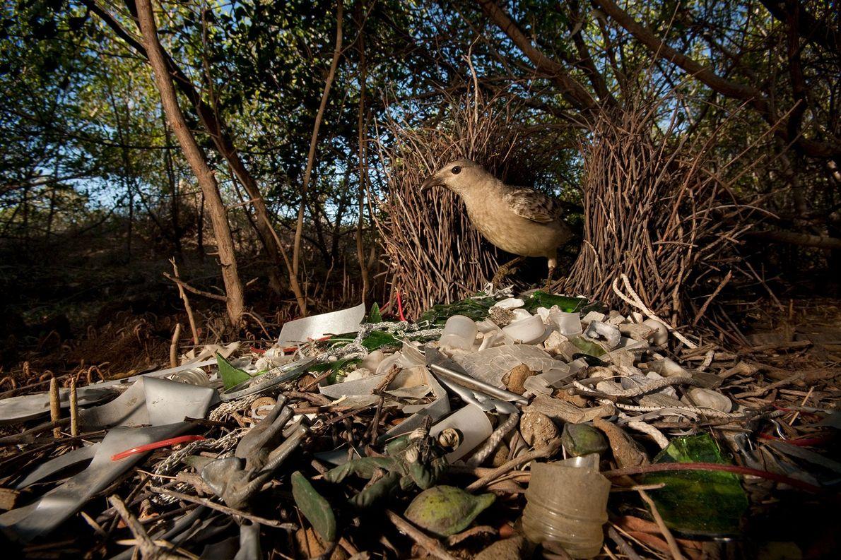 Un Chlamydera nuchalis en Queensland, Australia, decora su hogar con cristales rotos, juguetes de plástico y …
