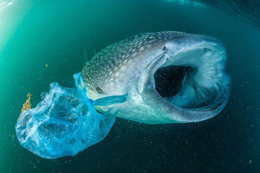Un tiburón ballena nada junto a una bolsa de plástico en el golfo de Adén, cerca ...