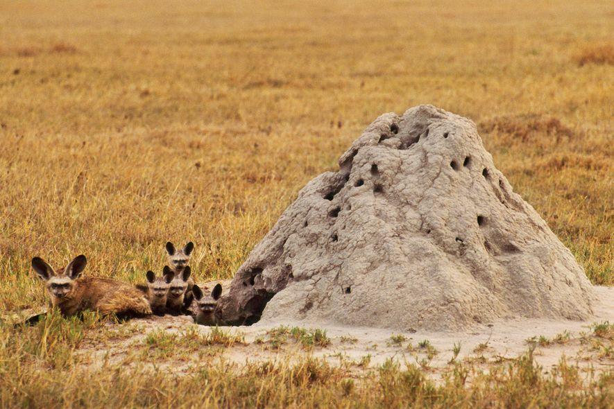 A veces, los zorros orejudos, como esta familia de Botsuana, utilizan antiguos termiteros como madriguera.