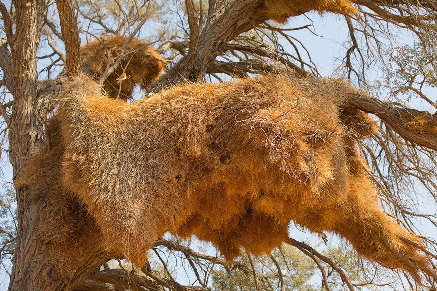 Los nidos de los tejedores republicanos, como este de Namibia, son como condominios. Albergan a decenas ...