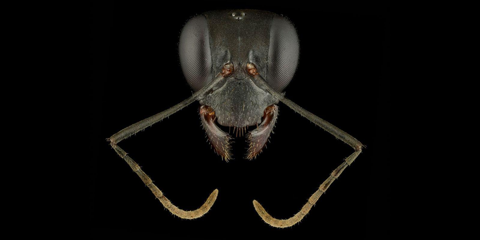 Los «retratos» de estas hormigas revelan lo diversas y hermosas que son