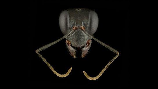 Fotografía de la hormiga Gigantiops-destructor