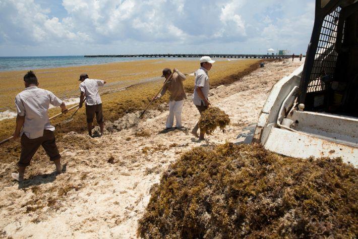 Enormes cantidades de Sargassum llegan a las costas caribeñas de México