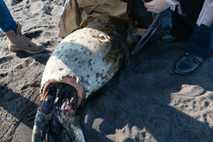 Una foca manchada muerta