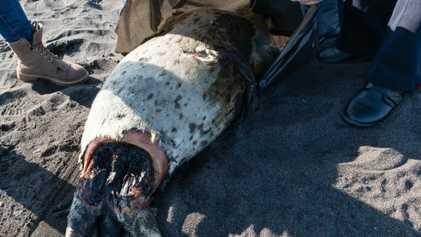 La muerte en masa de animales marinos en Rusia podría amenazar a las nutrias marinas y ...