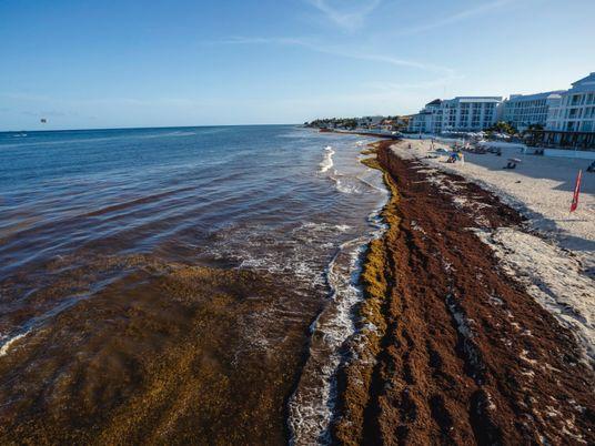 Las algas amenazan las paradisíacas playas de Cancún ¿podrá la ciencia ayudar a solucionar el problema?