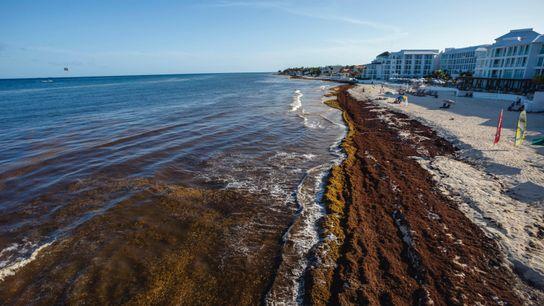 El alga sargassum contamina las playas caribeñas de México
