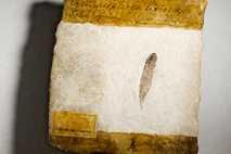 Pluma fósil de Archaeopteryx
