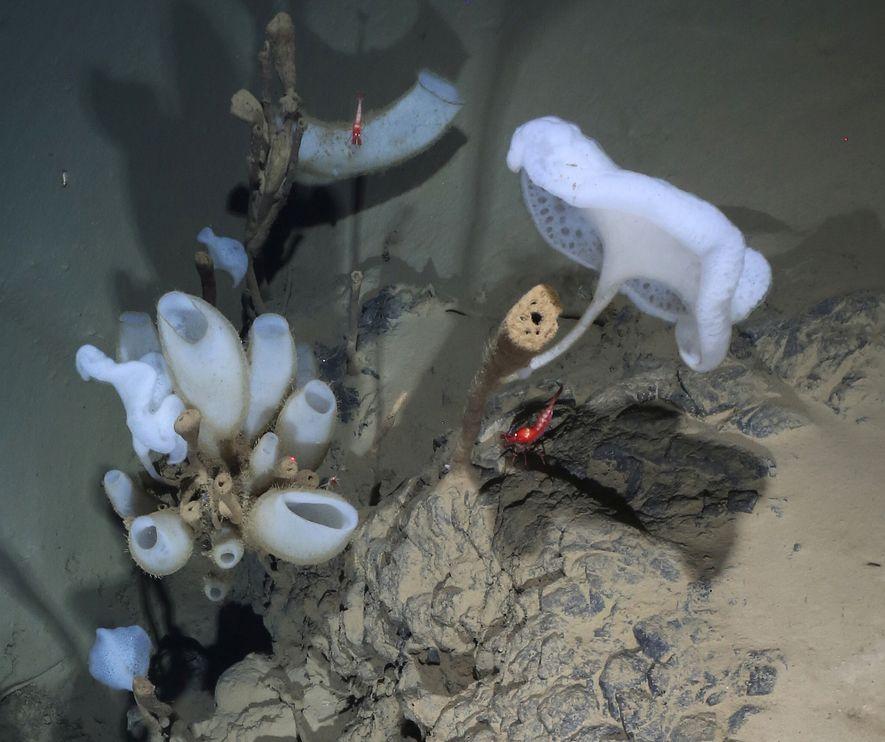 Un camarón rojo de casi cinco centímetros de largo nada sobre un afloramiento de lava acojinada ...