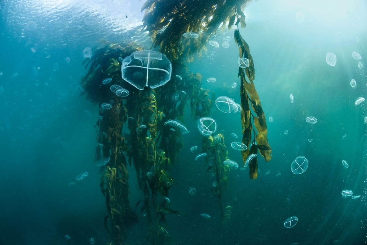 Medusas en un bosque de algas