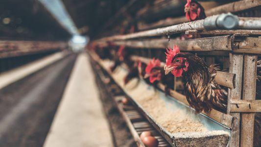 La industria del huevo crea el primer método que no mata a las gallinas ponedoras ni ...