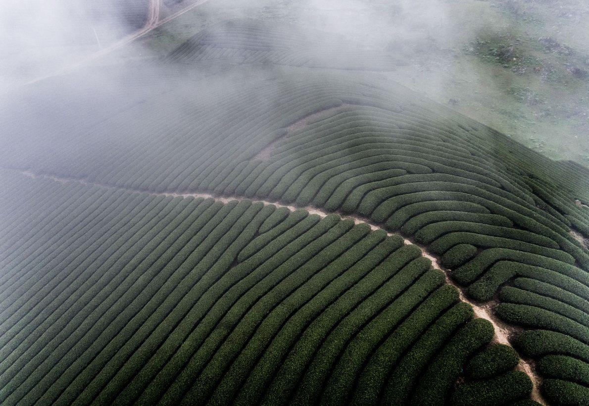 La neblina matutina se disipa sobre los campos de té laberínticos de Moc Chau, una región …