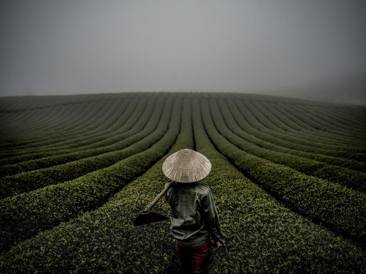 Una agricultora que cultiva té descansa antes del comienzo de su turno. Moc Chau es popular …