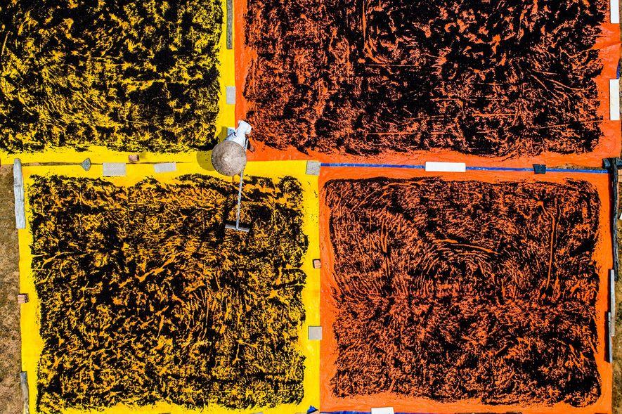 Los trabajadores extienden granos de pimienta sobre lonas para que se sequen bajo el intenso sol ...