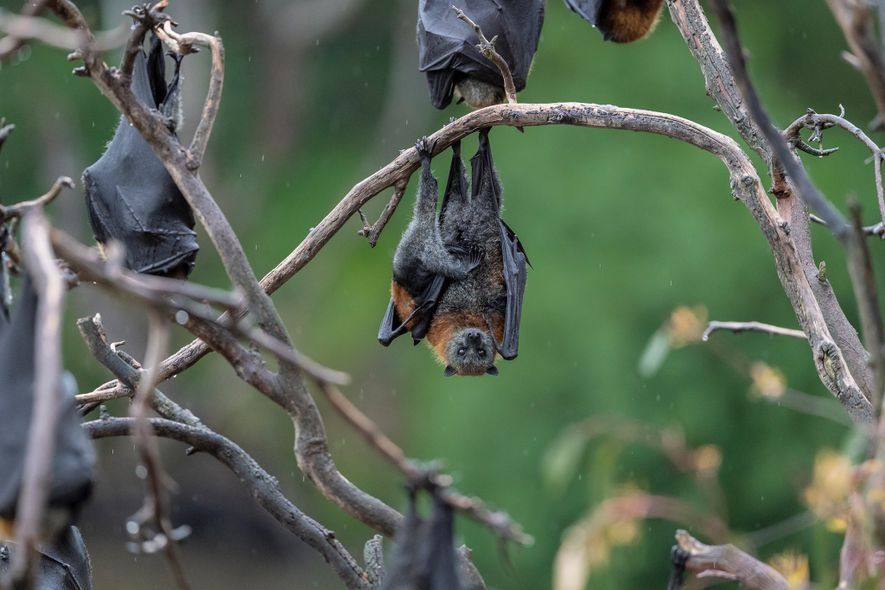 Un zorro volador de cabeza gris cuelga de una rama en el parque Yarra Bend con ...