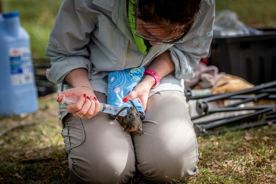 Kate Chamberlain, rescatadora de animales salvajes, proporciona fluidos a un zorro volador de cabeza gris en ...