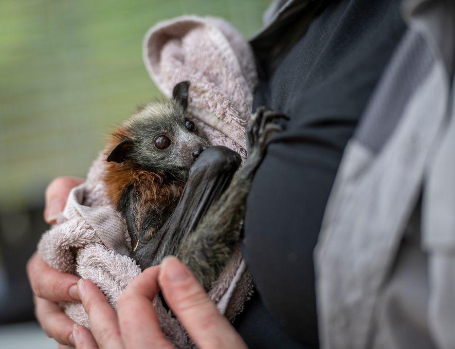La rescatadora de murciélagos Tamsyn Hogarth sostiene a un zorro volador de cabeza gris rescatado en ...