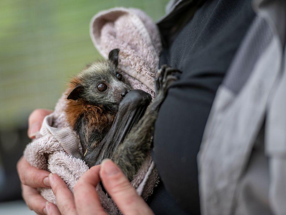 Los zorros voladores mueren en masa ante el calor extremo de Australia