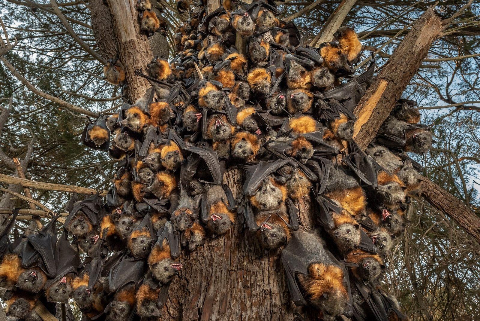 Fotografía de zorros voladores de cabeza gris