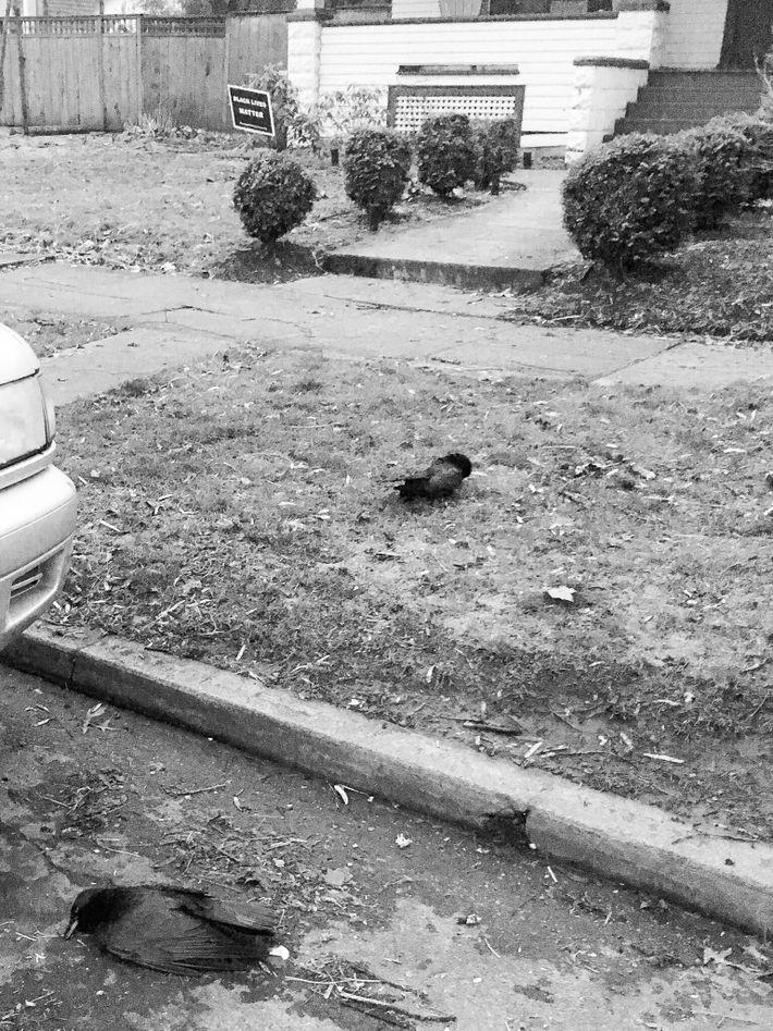 Cuervos muertos