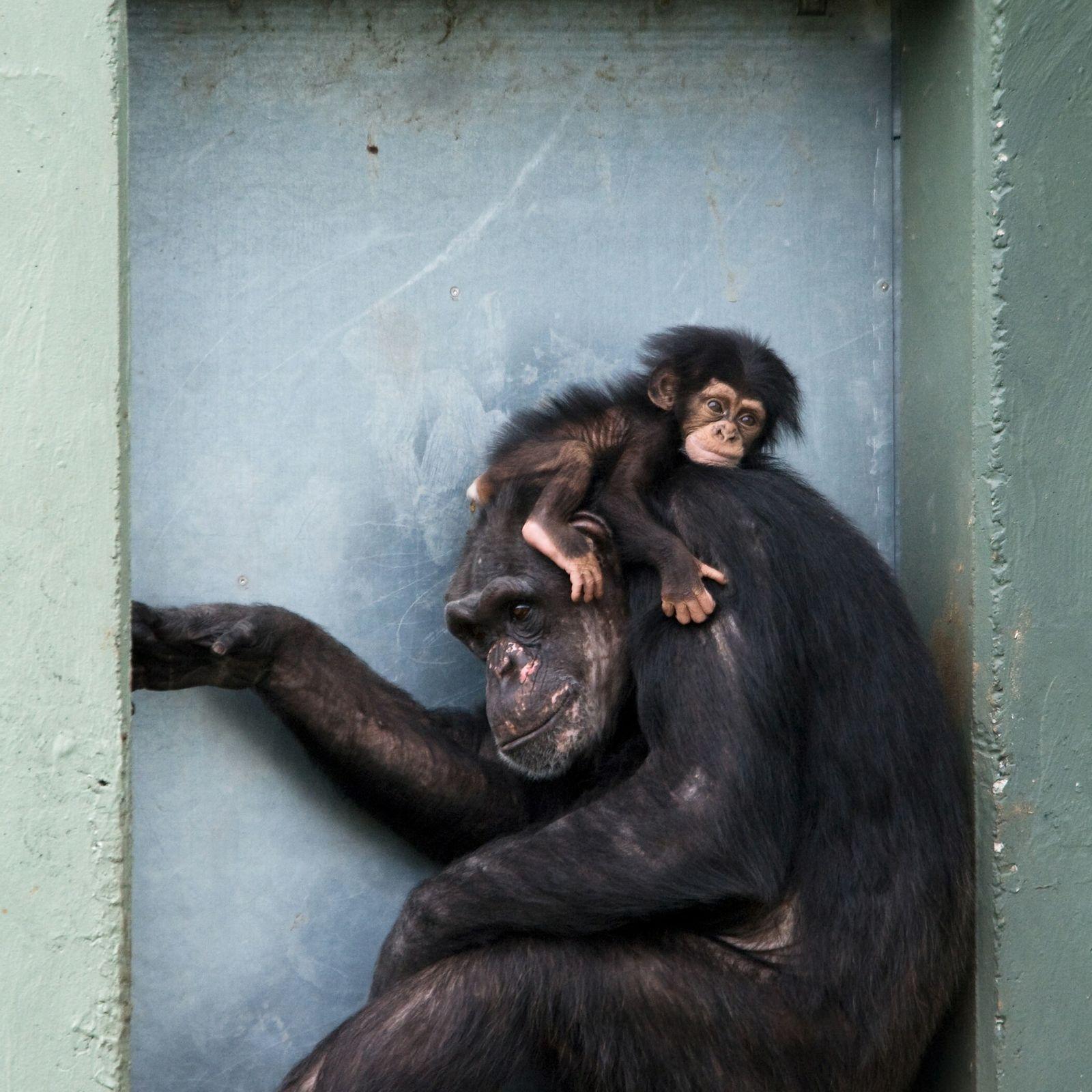 Fotografía de una cría de chimpancé con su madre