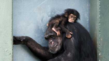 Nuevas investigaciones revelan que las madres chimpancés se parecen a nosotros