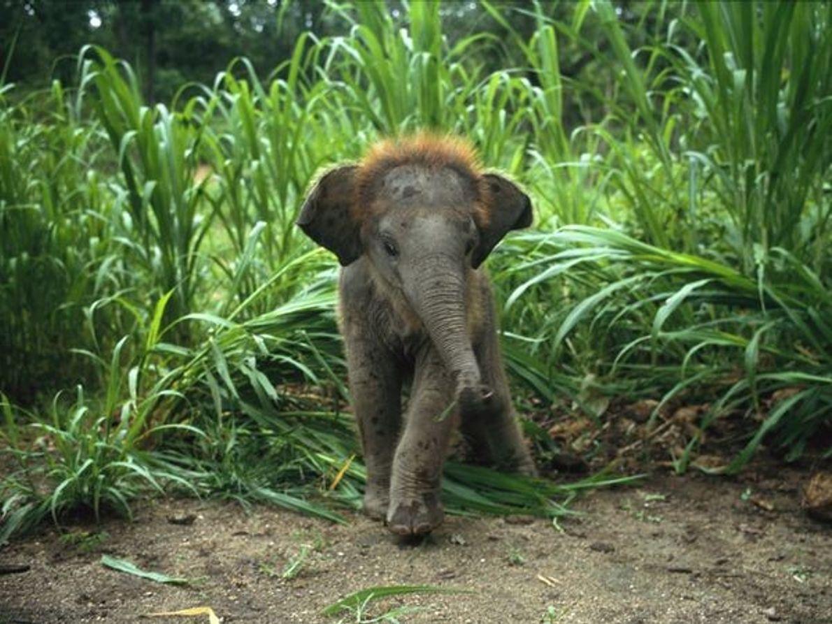 Crías de Elefante Asiático en la hierba alta