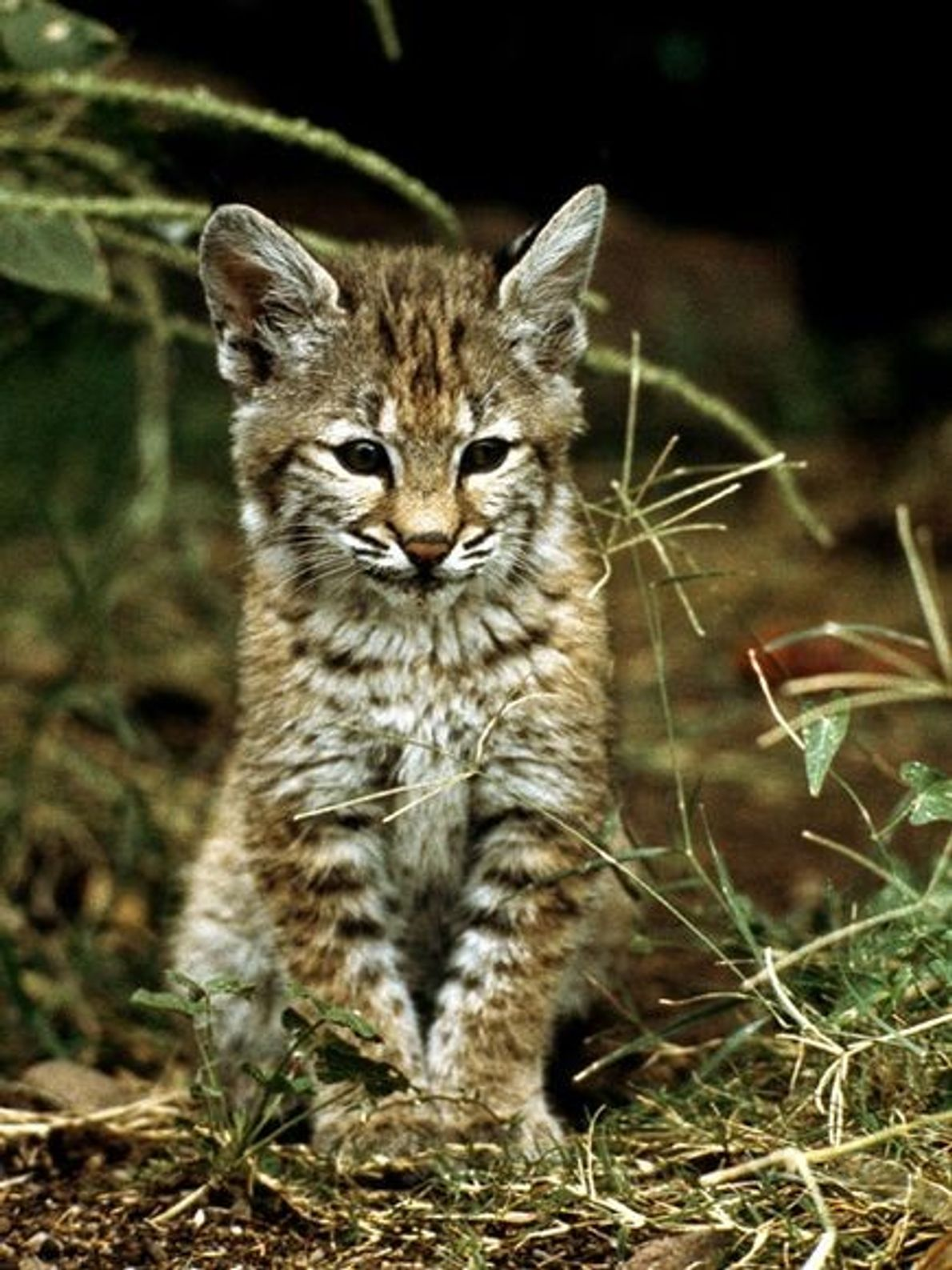 Cría de gato montés en su hábitat natural