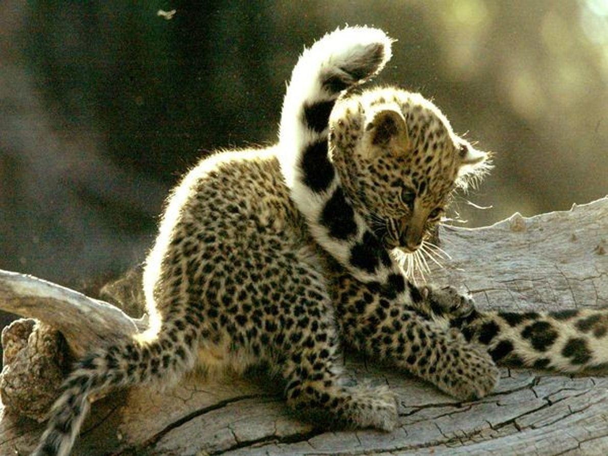 Cachorro de Leopardo jugando con la cola de la madre