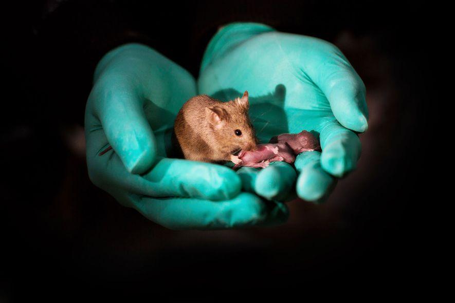Gracias a la edición genética, dos madres ratón han tenido esta cría. Ahora ha alcanzado la ...