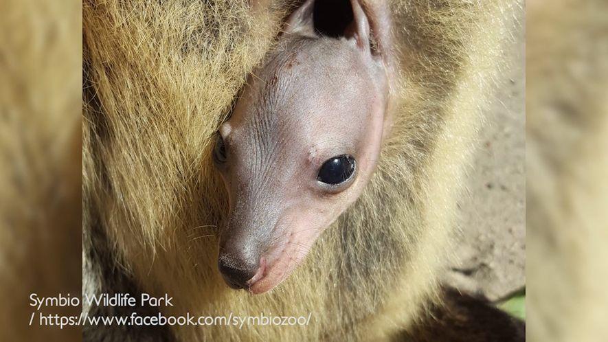 Estas imágenes muestran cómo crece un bebé ualabí en el marsupio de su madre
