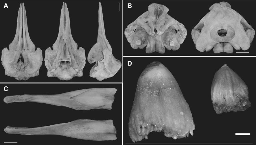 Ballena picuda negra nueva especie