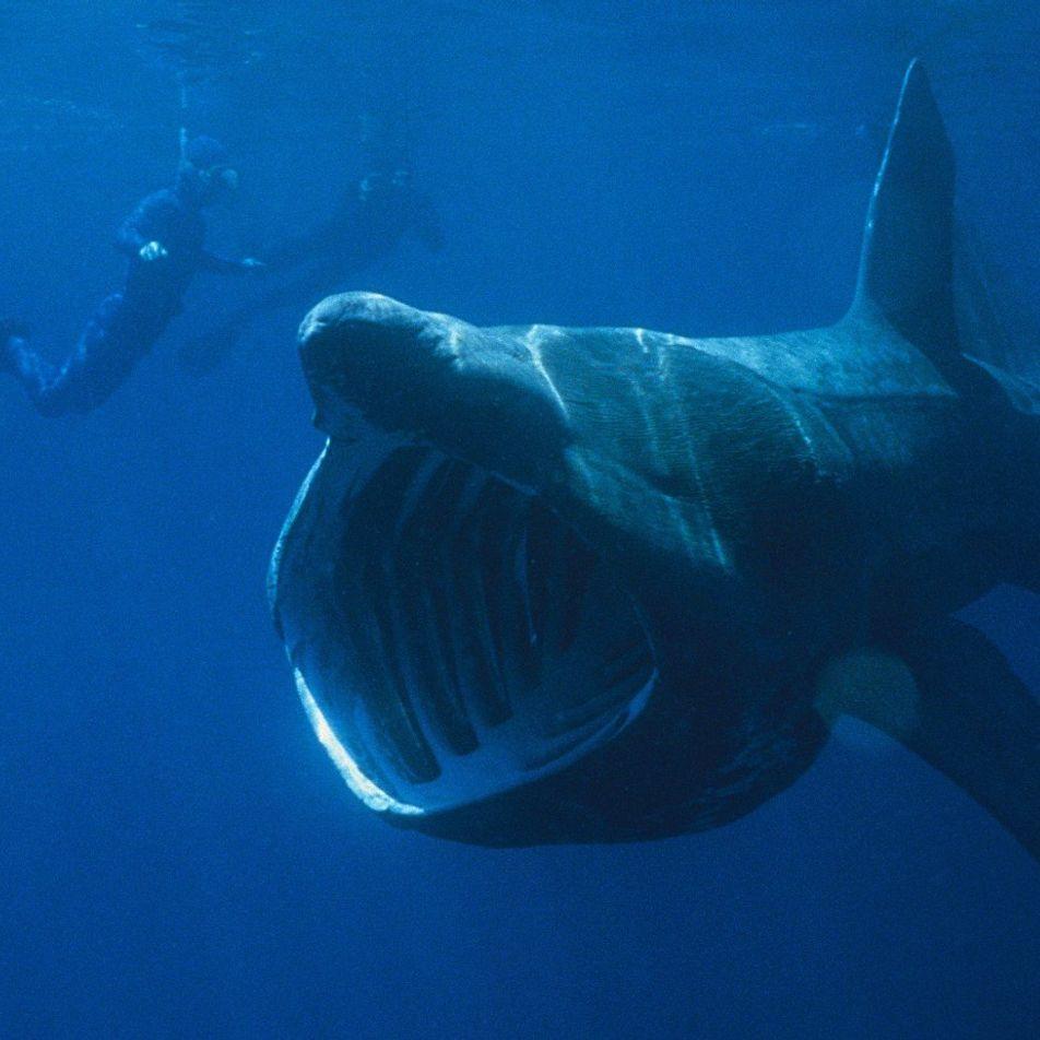 Avistan un tiburón peregrino de ocho metros de longitud en aguas granadinas