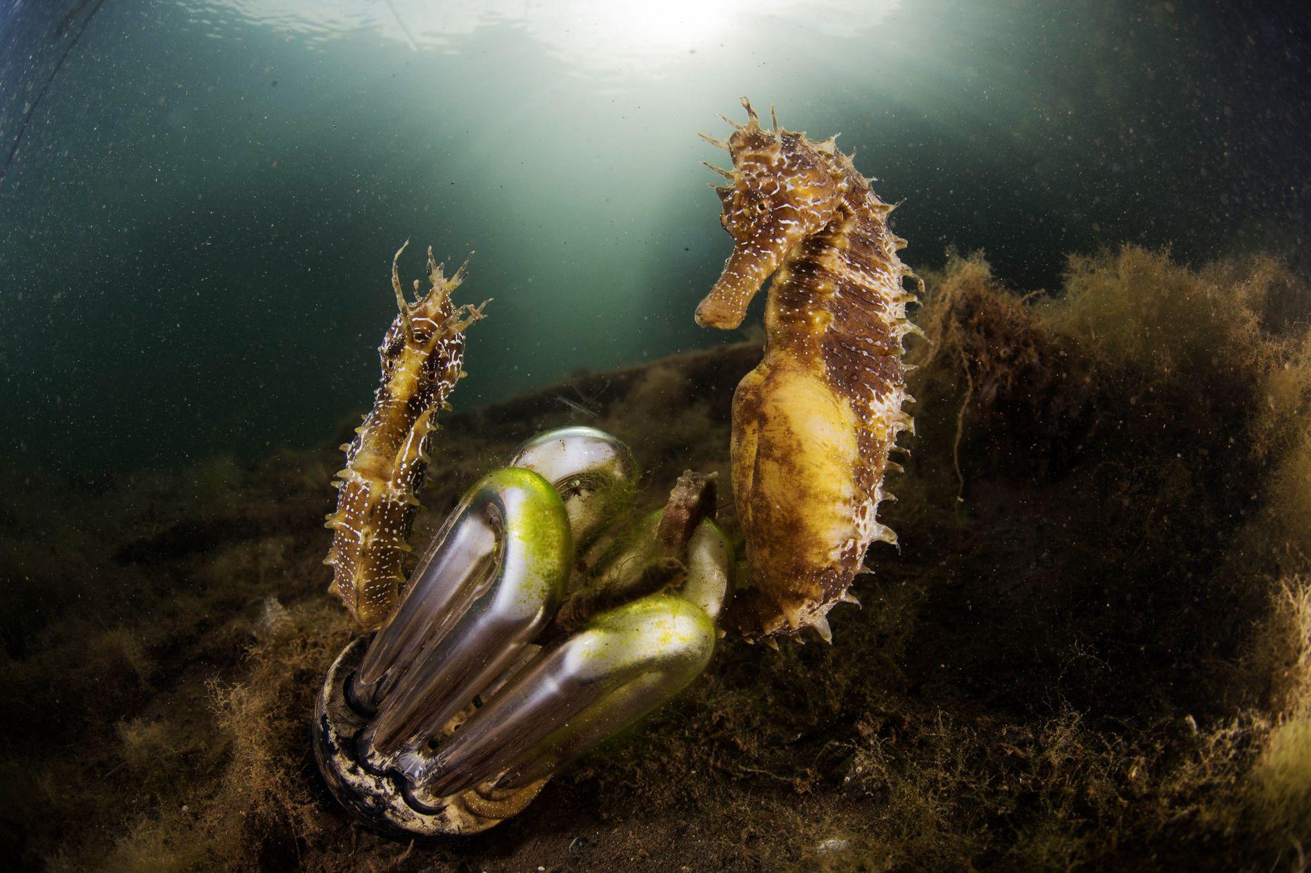 Mar Menor Caballitos de mar