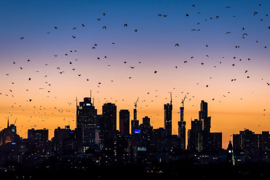 Zorros voladores de cabeza gris sobrevuelan Melbourne durante un caluroso atardecer estival en busca de comida. ...