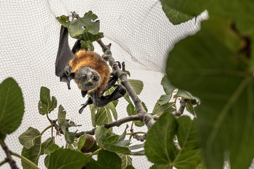 Un zorro volador de cabeza gris atrapado en una red en el jardín de una persona ...
