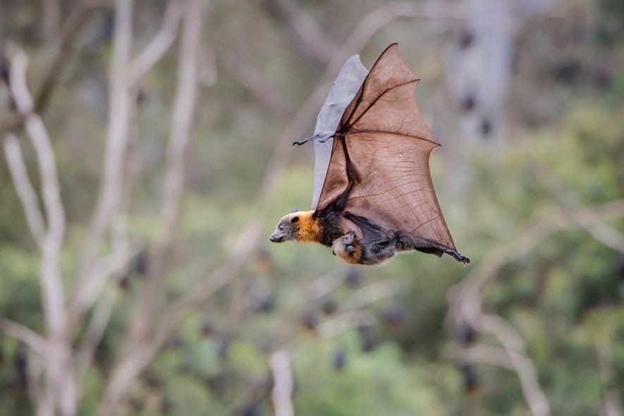 Un zorro volador de cabeza gris en pleno vuelo. Puede alcanzar una velocidad de hasta 40 ...