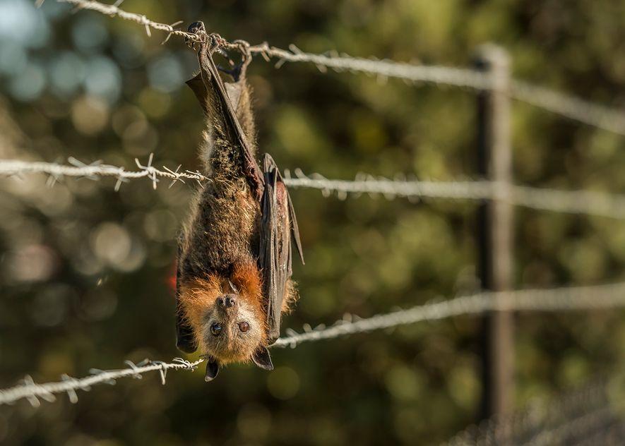 Un zorro volador de cabeza gris atrapado en el alambre de espino que rodea una fábrica ...