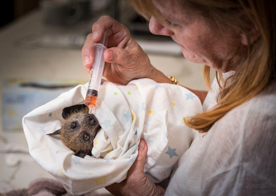 Bev Brown cuida a una cría rescatada de zorro volador de cabeza gris. Según Brown, los ...
