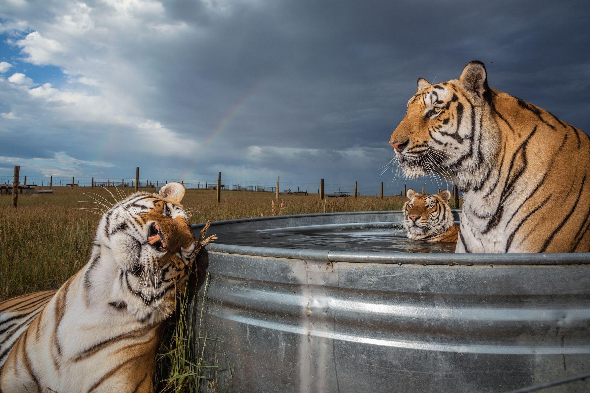 Tigres rescatados