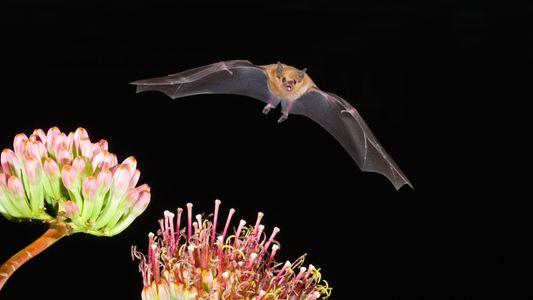 El mezcal es más popular que nunca, algo perjudicial para los murciélagos
