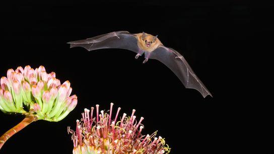 Un murciélago magueyero menor