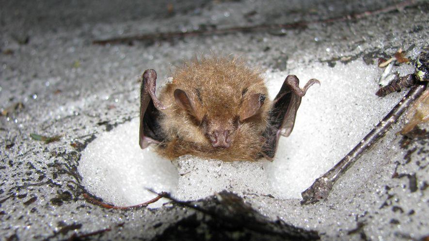 Estos murciélagos hibernan en madrigueras de nieve para sobrevivir al invierno