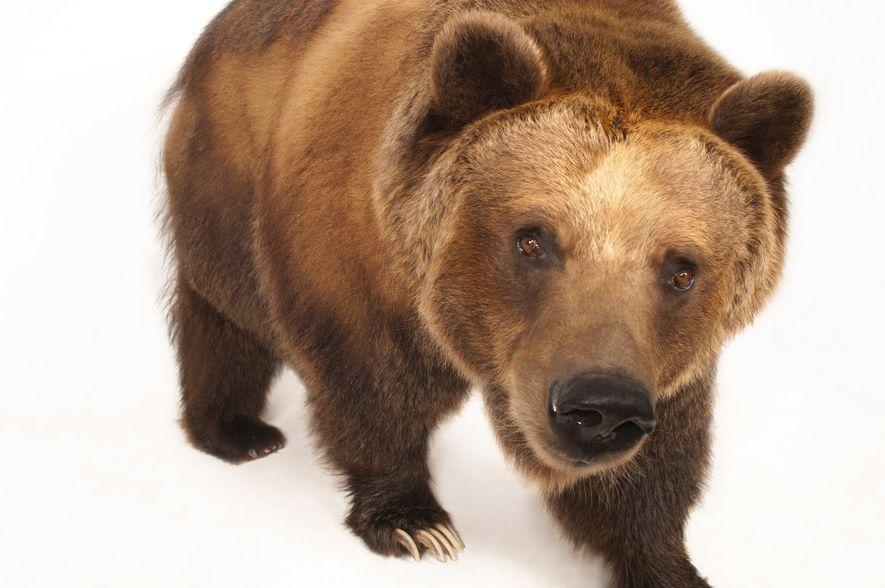 Los osos grizzly pueden medir hasta dos metros y medio de largo y pesar más de ...