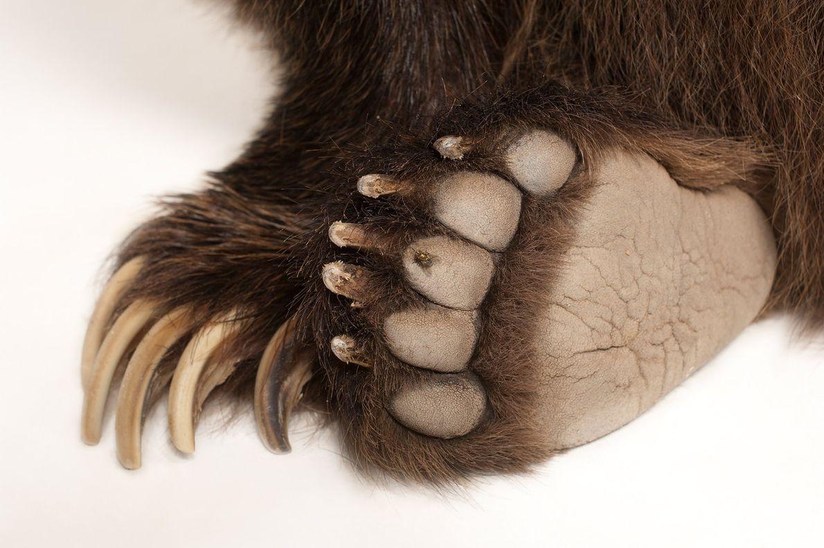 Patas de grizzly
