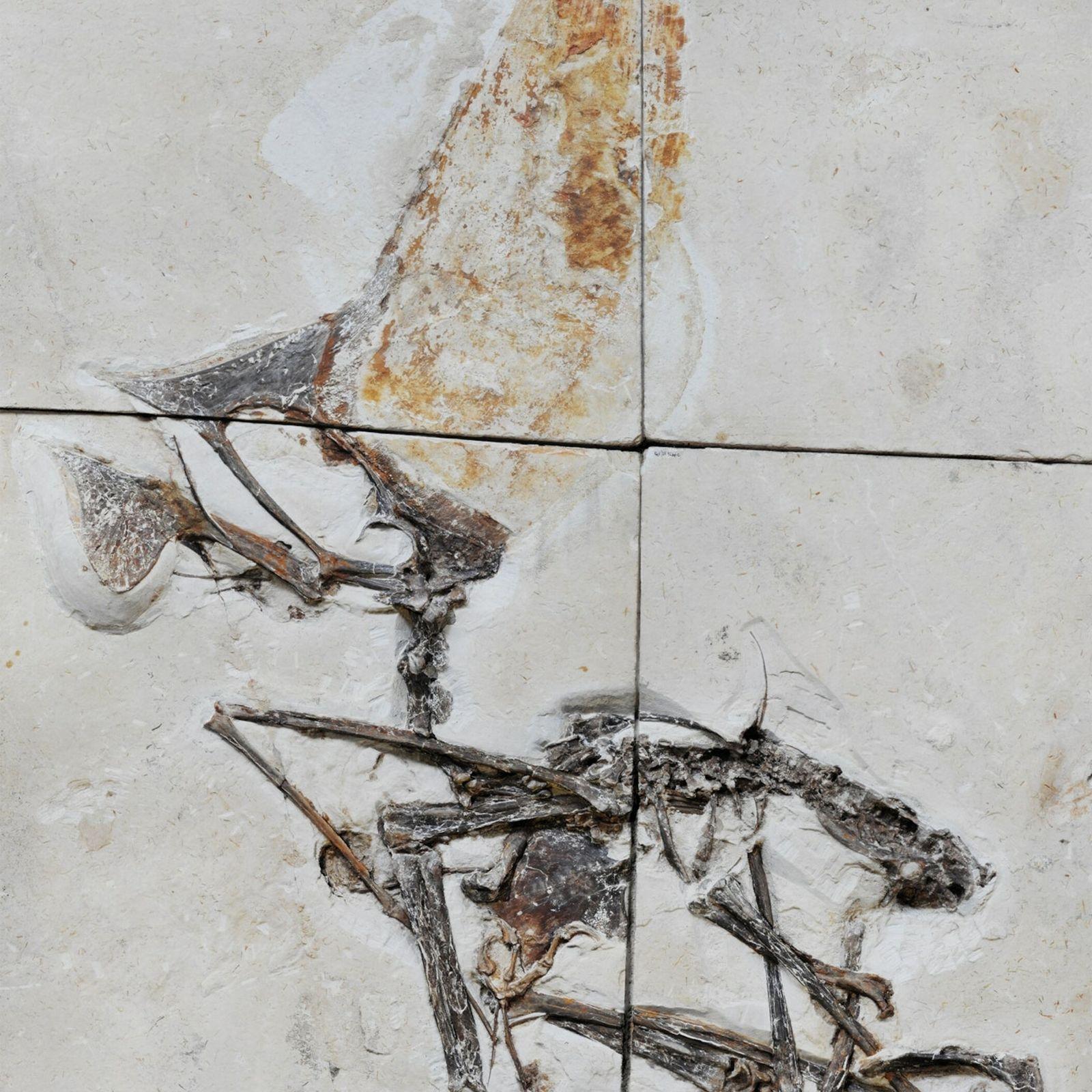 Pterosaurio brasileño