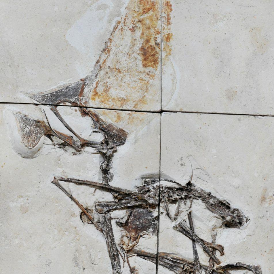 Un sorprendente fósil recuperado en una redada policial desvela los secretos de un reptil alado prehistórico